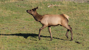 Elk 10