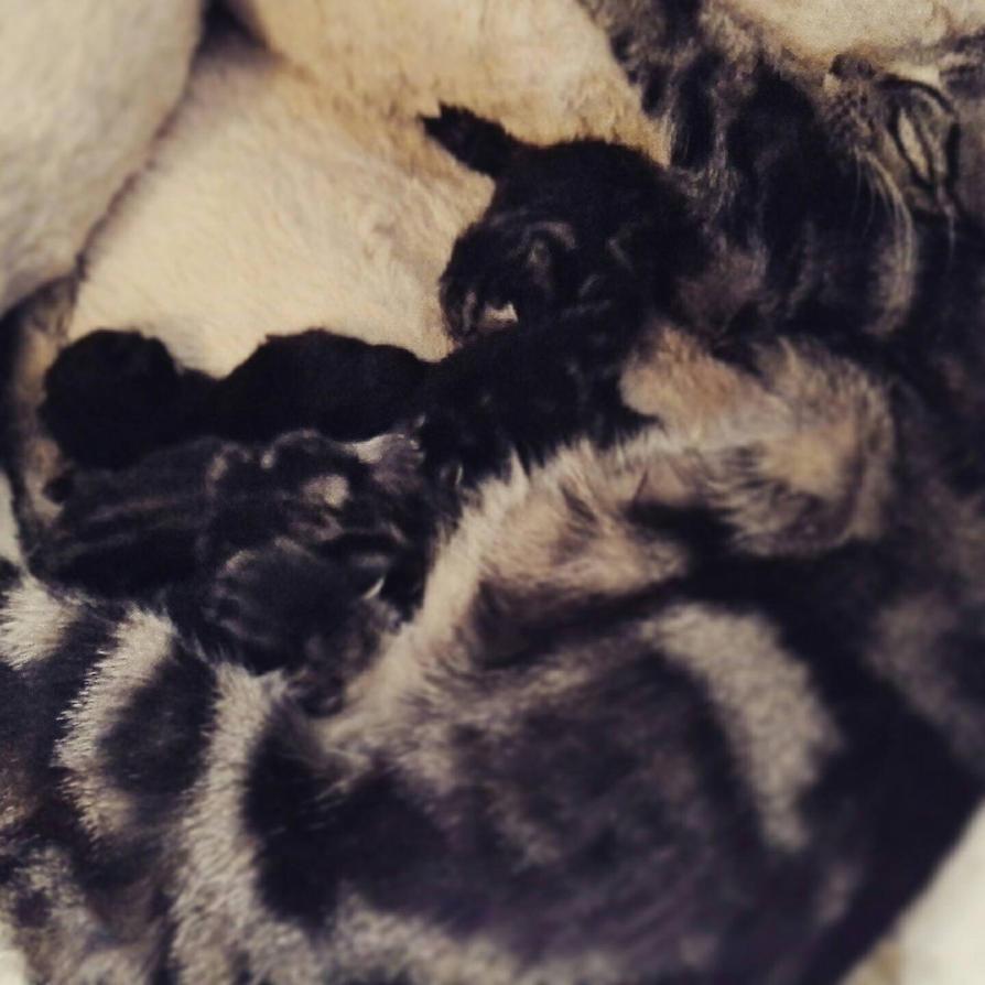 simbas kitties by Pitaten2
