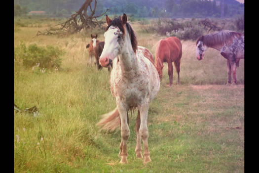 Camelo, the horse.