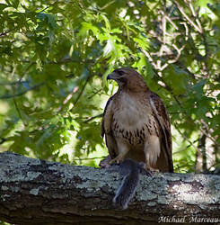 Red Tail Hawk by Uberdadeh