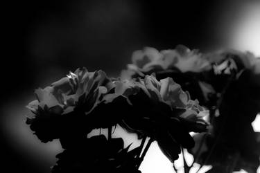 Dark roses by luka567