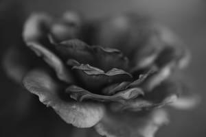 La vie en rose by luka567