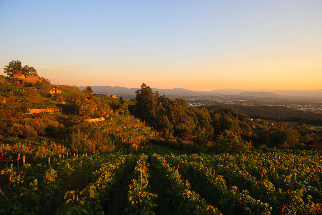 Vineyard bathing in the evening sun by luka567