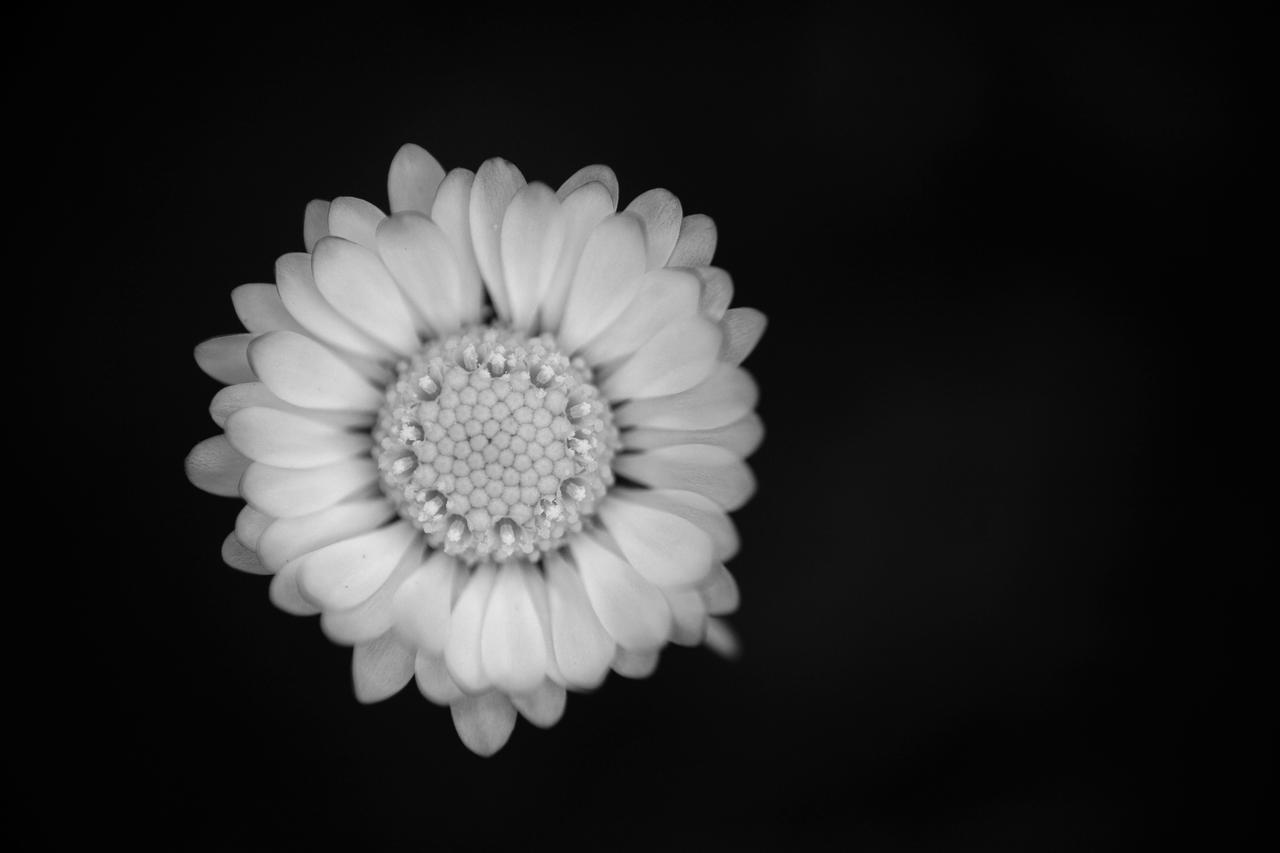 Daisy by luka567