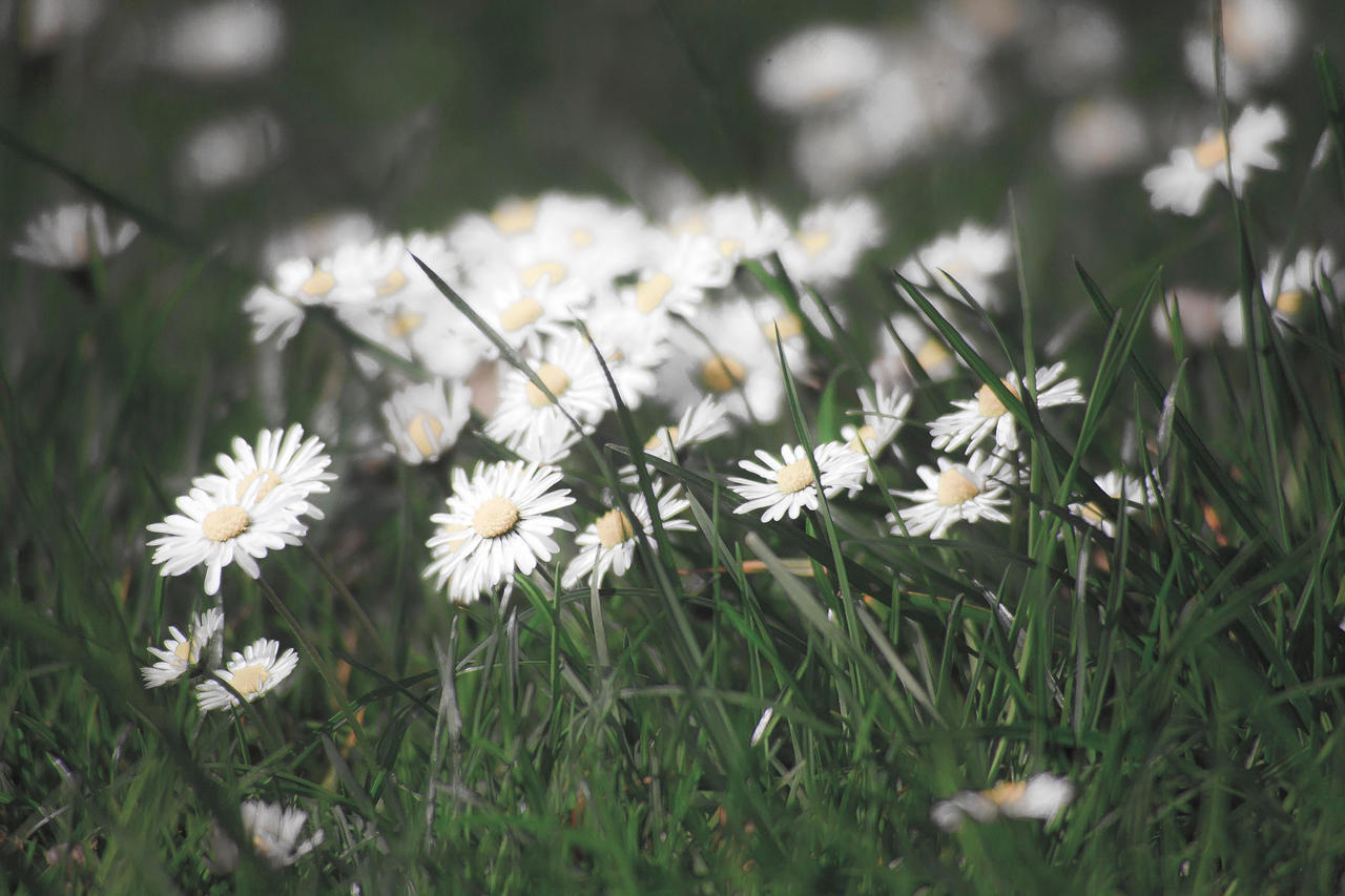 Daisies by luka567