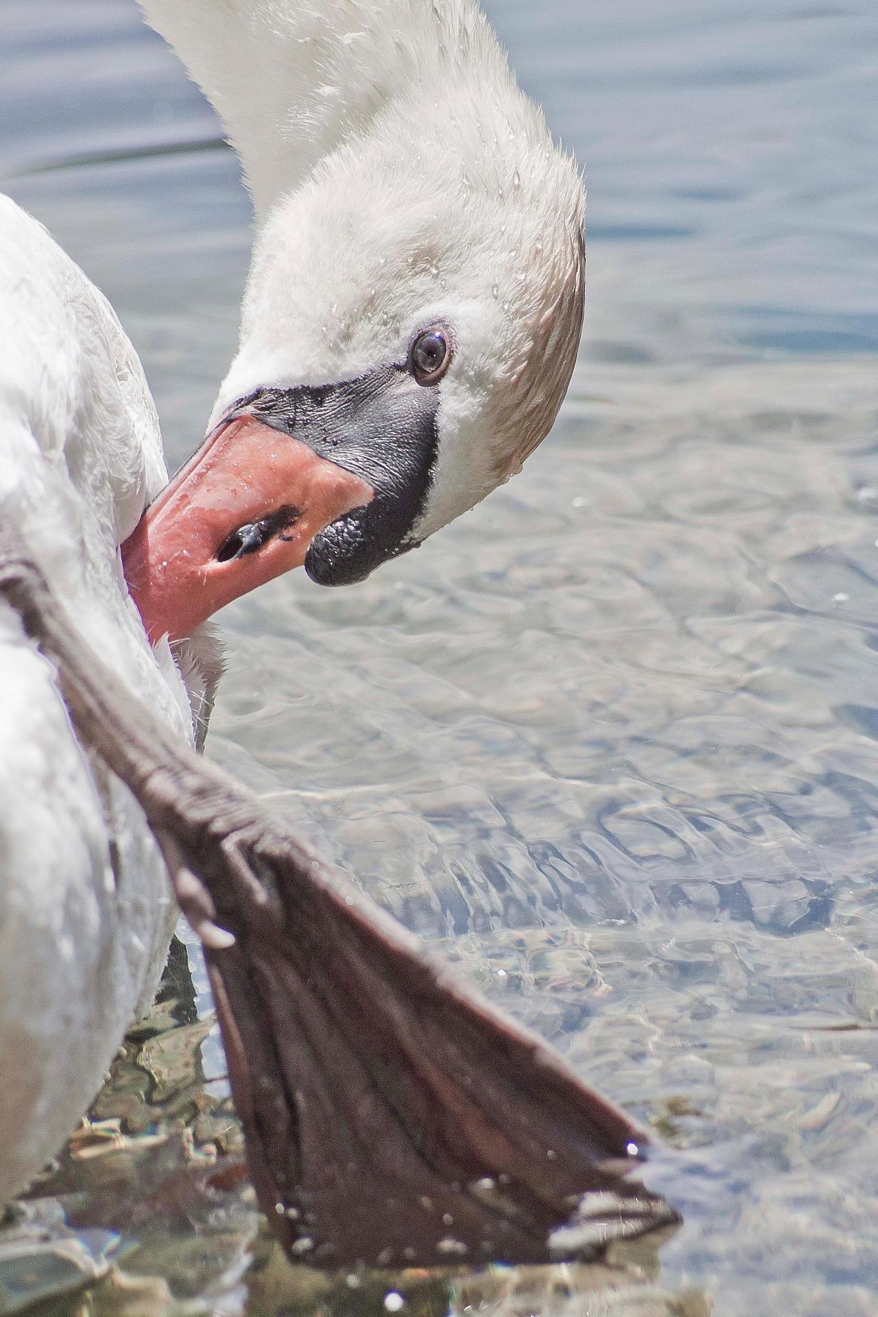 Swan portrait by luka567