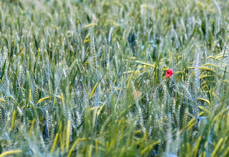 Red papaver in a field by luka567