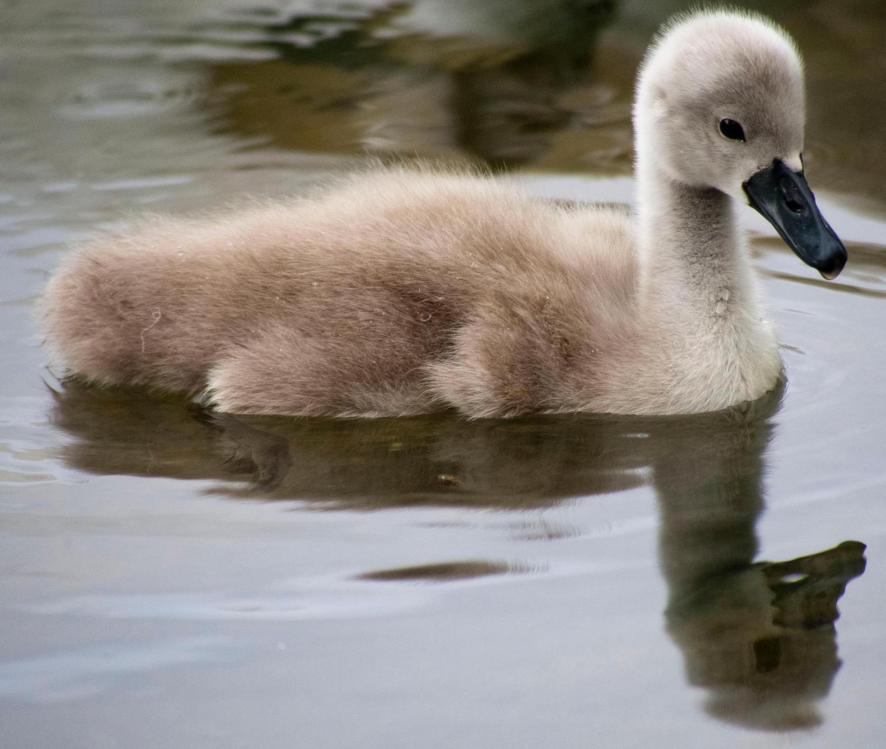 Little swan by luka567