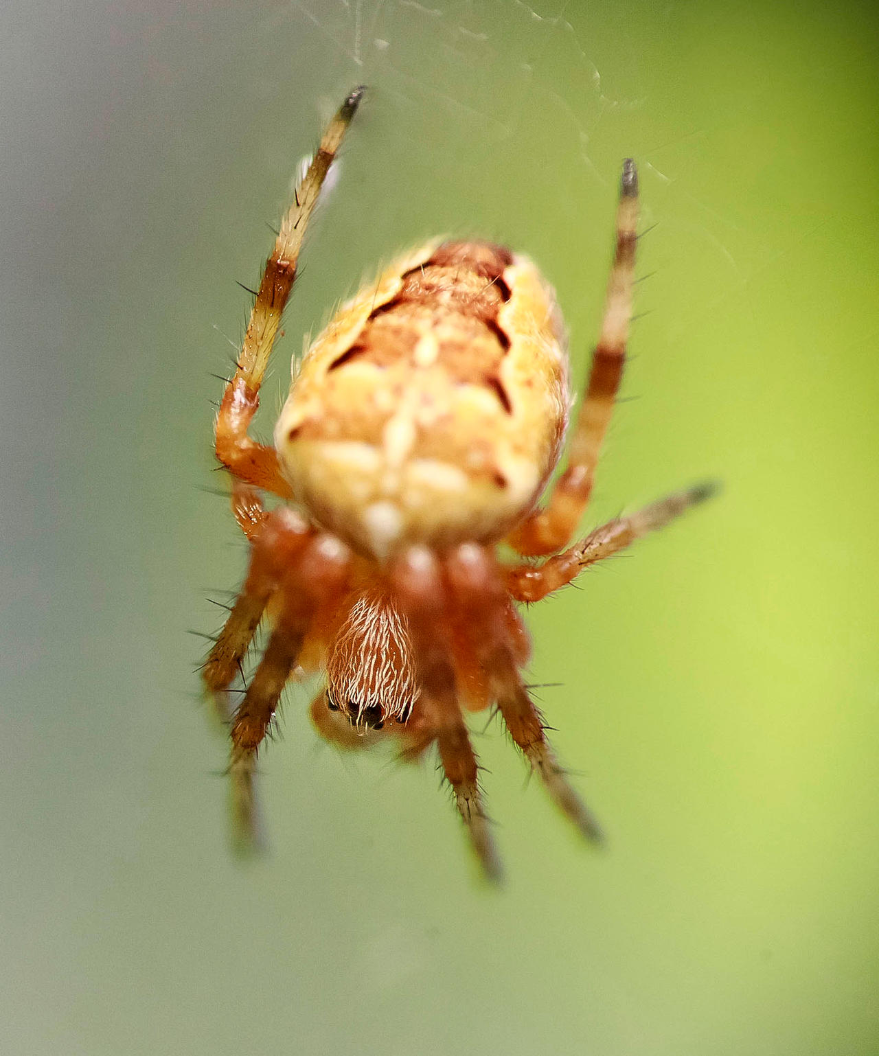 Hungry spider III by luka567