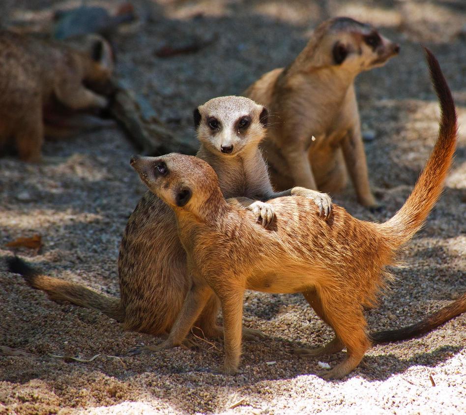 Meerkats by luka567