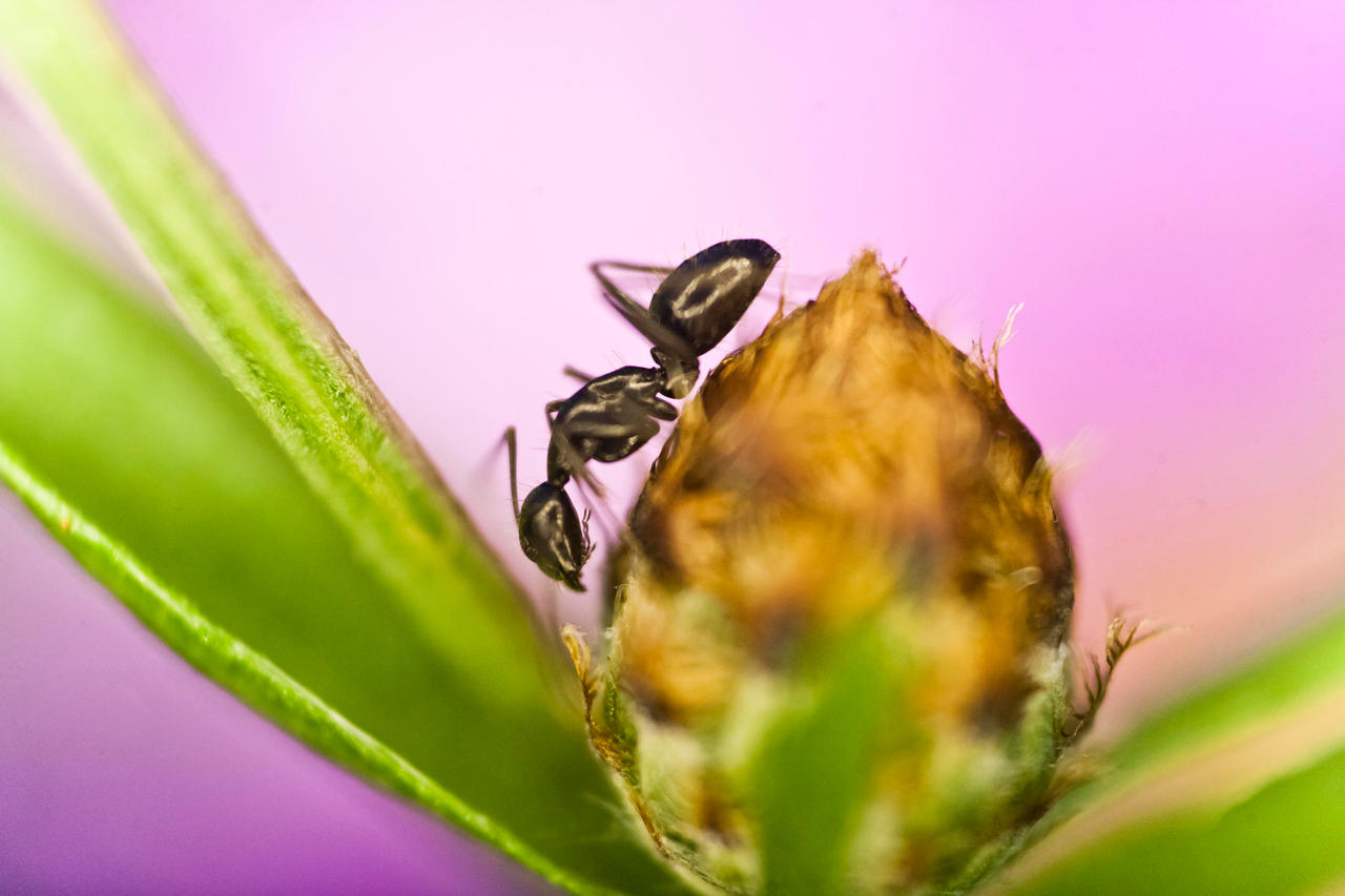 Ant on a flower by luka567