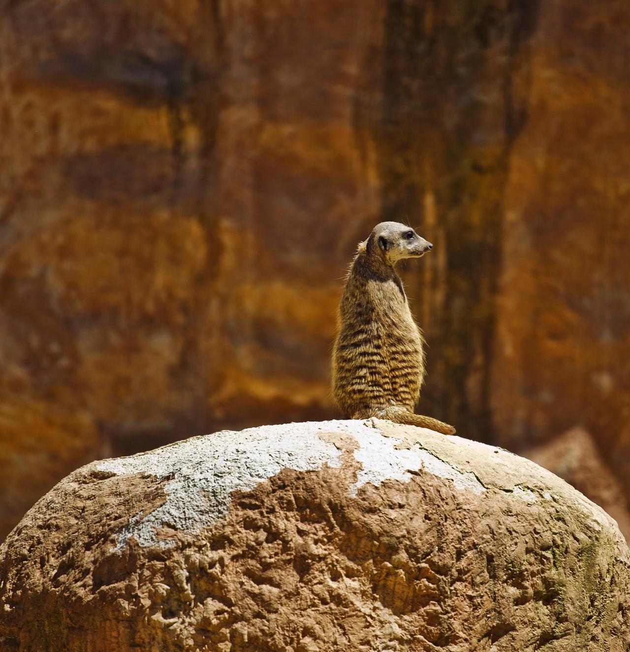 Meerkat by luka567