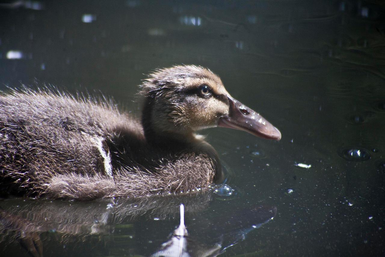 Portrait of a duck by luka567
