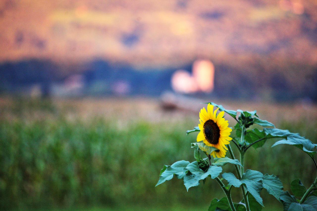Sunflower by luka567