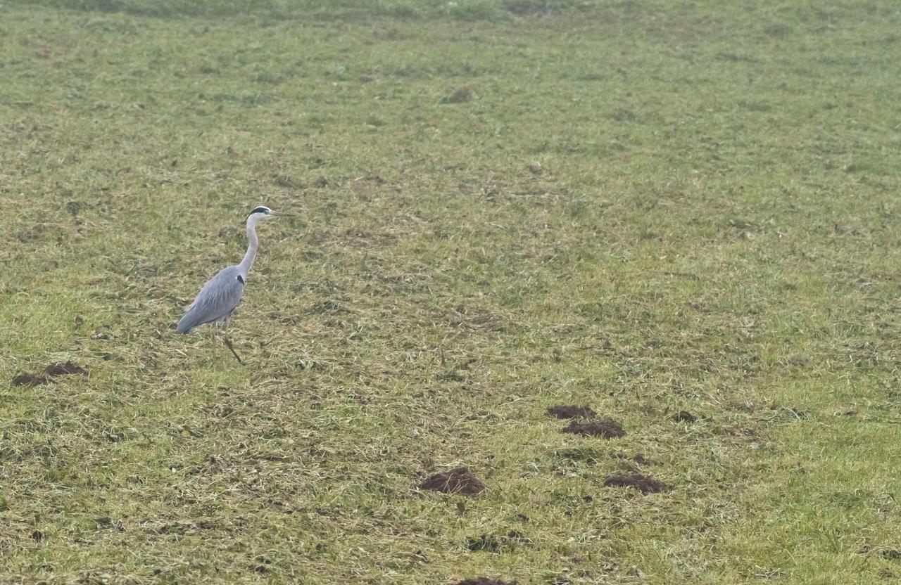 Heron by luka567