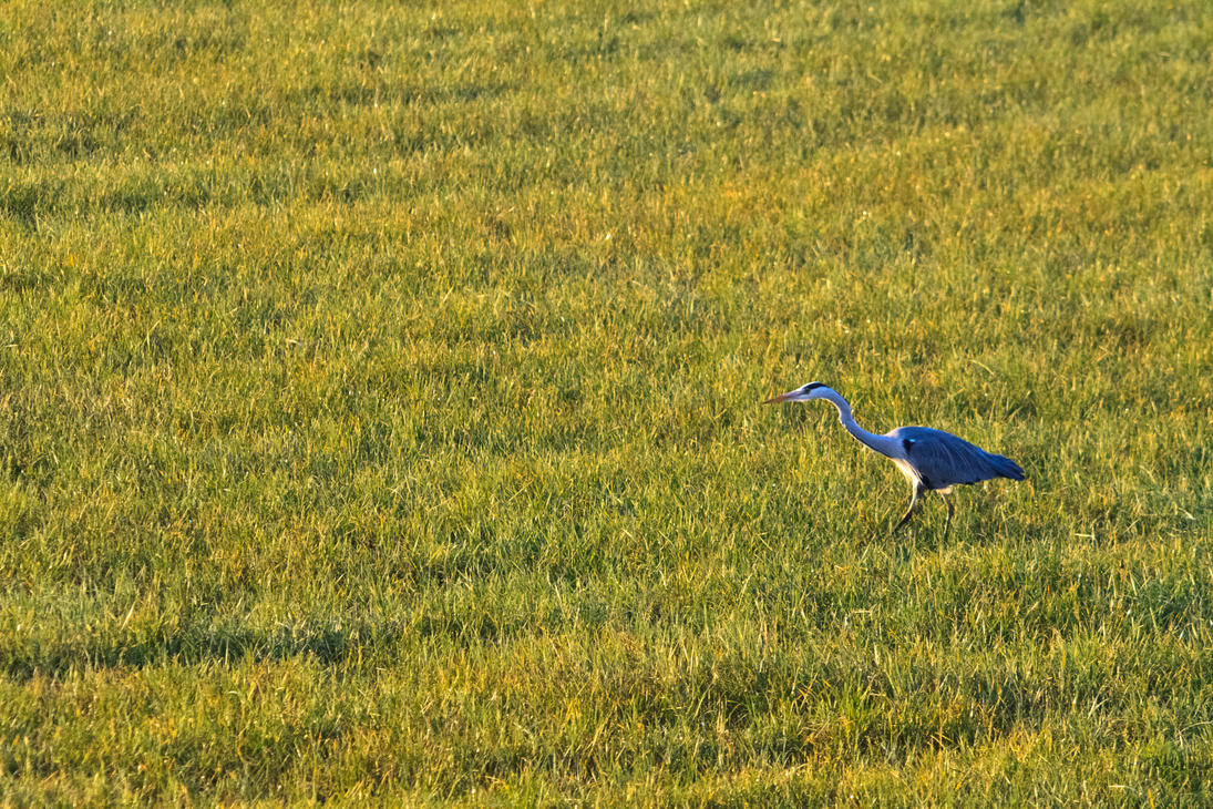 Heron in the morning by luka567