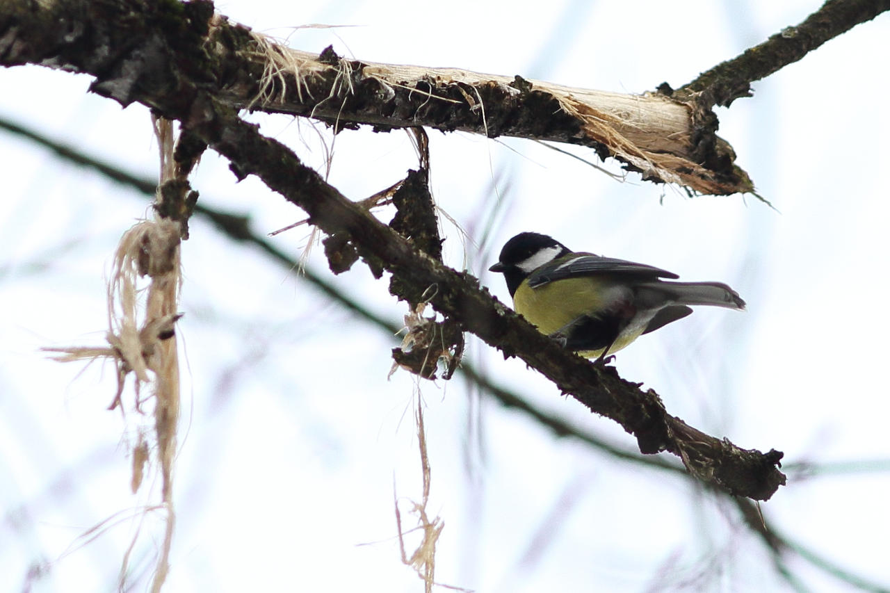 Parus major (The Great Tit) by luka567