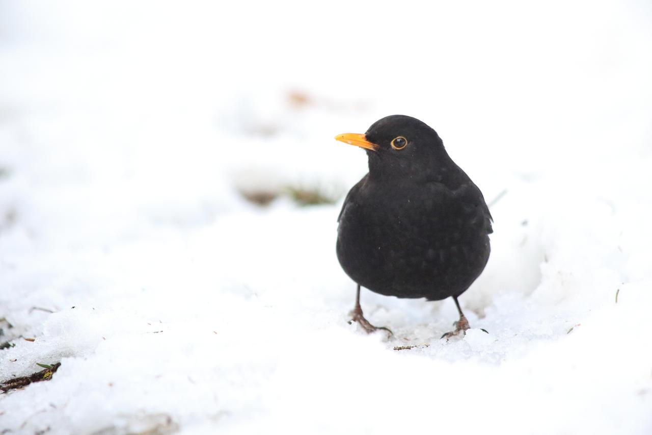 In the snow (Turdus merula) by luka567