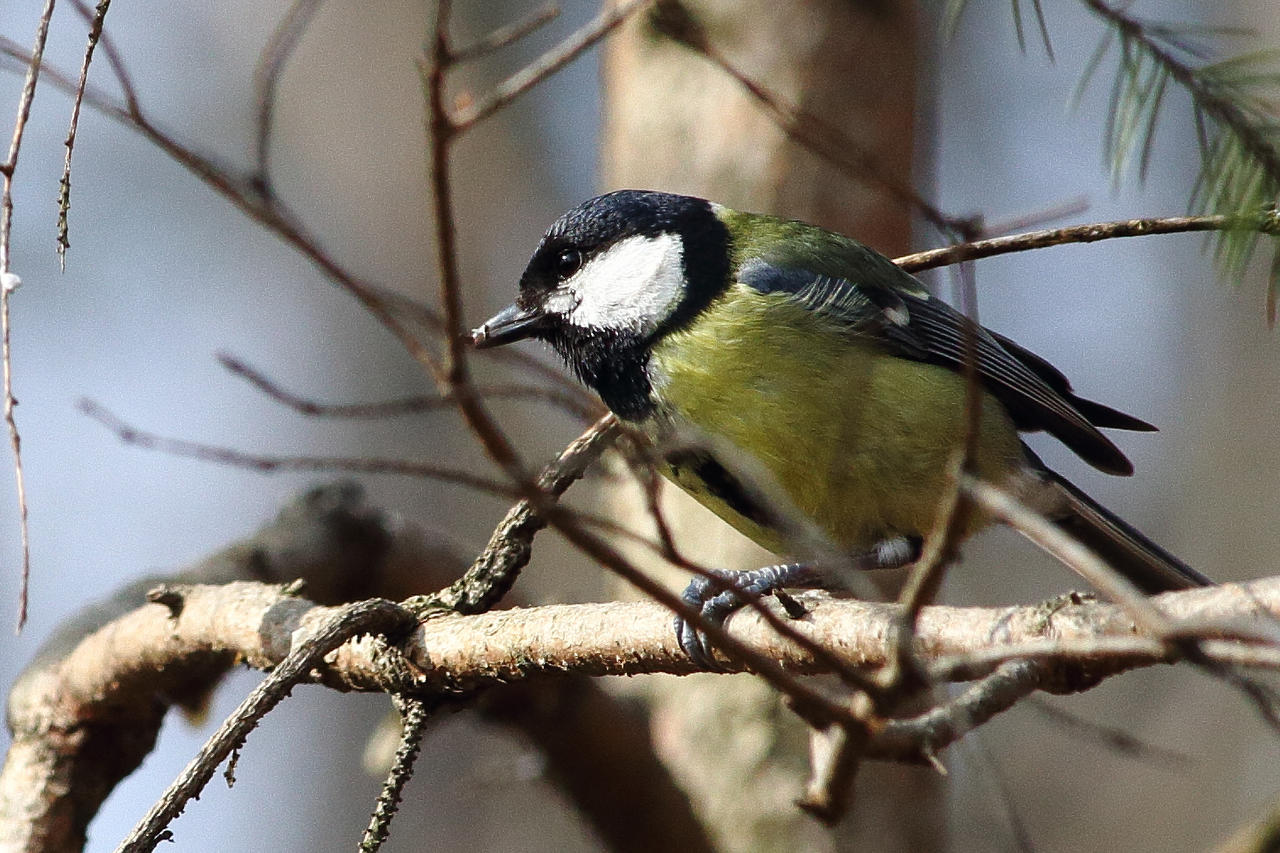 Parus major - Great tit by luka567