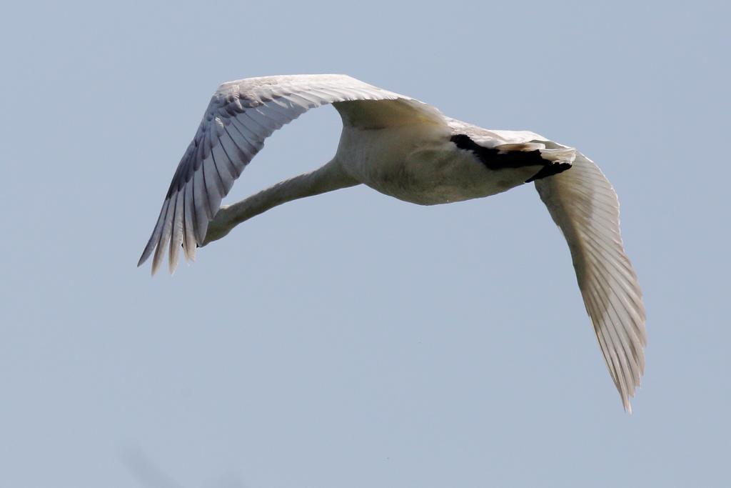 A swan flyaway by luka567