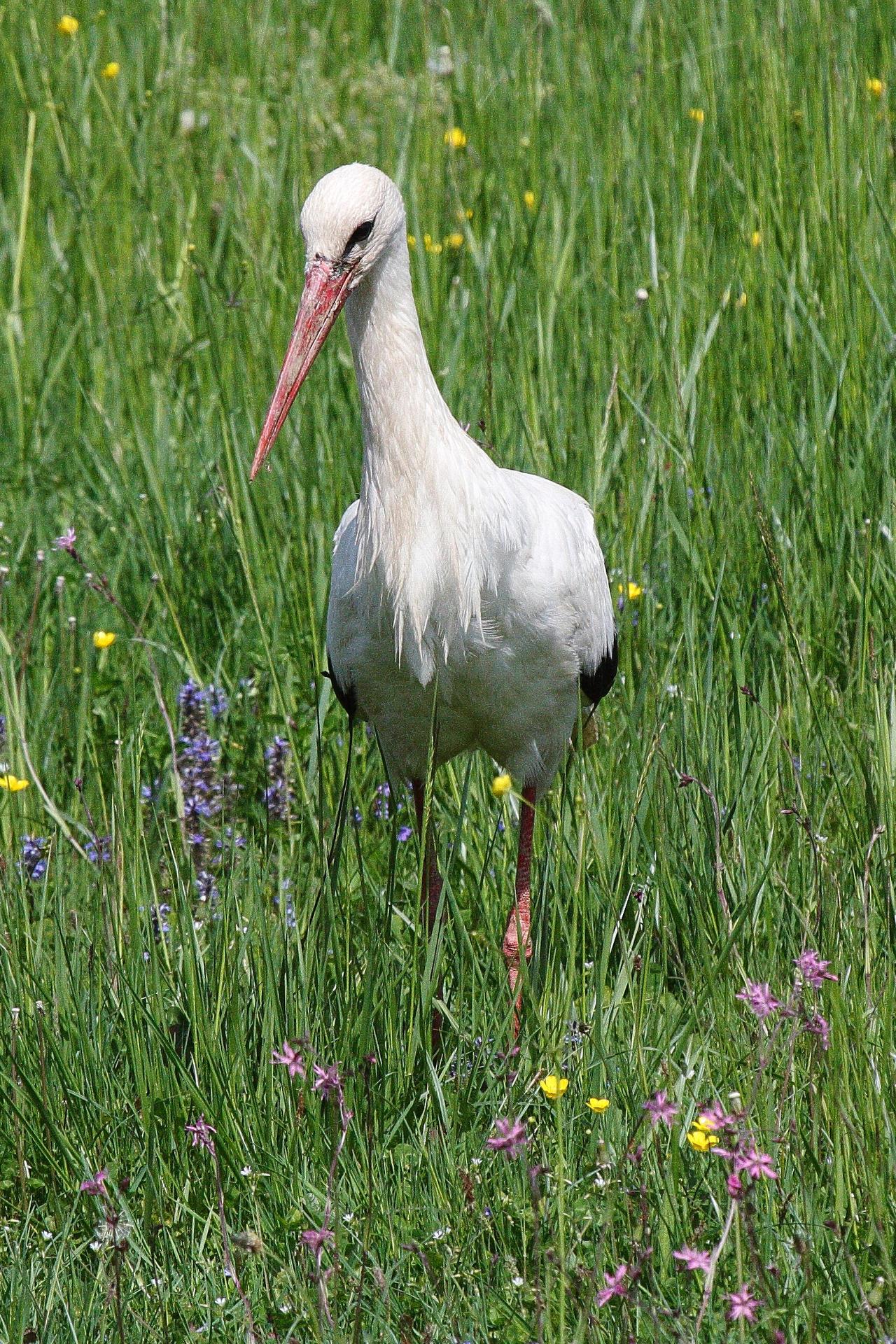 Stork by luka567