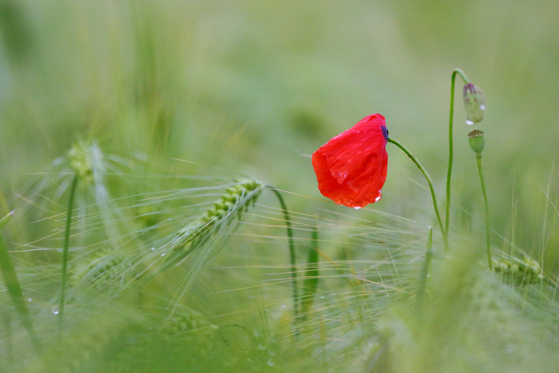 Red papaver by luka567