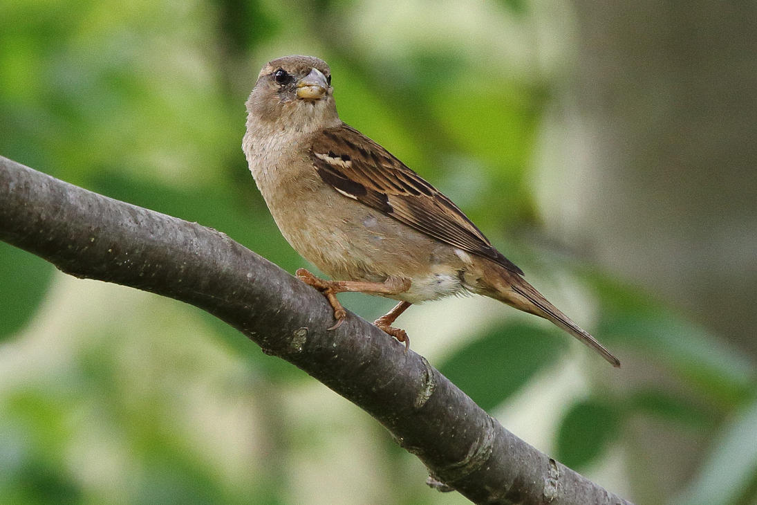 On the branch - Passer domesticus by luka567