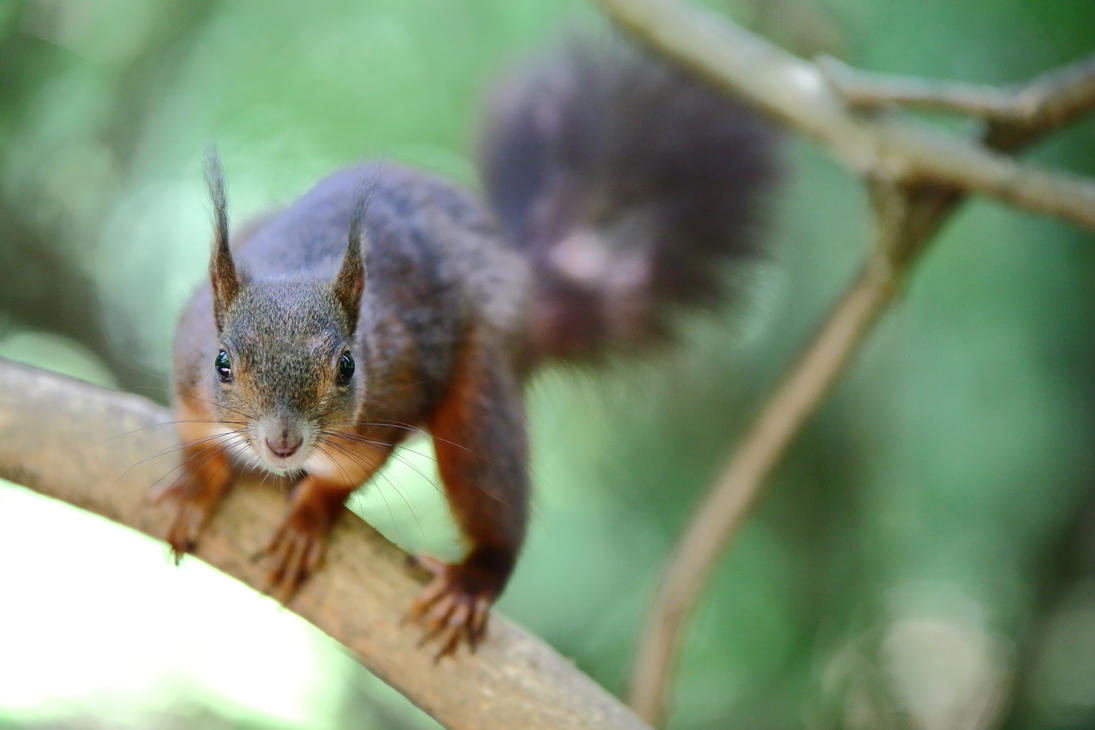 Young squirrel on the branch by luka567
