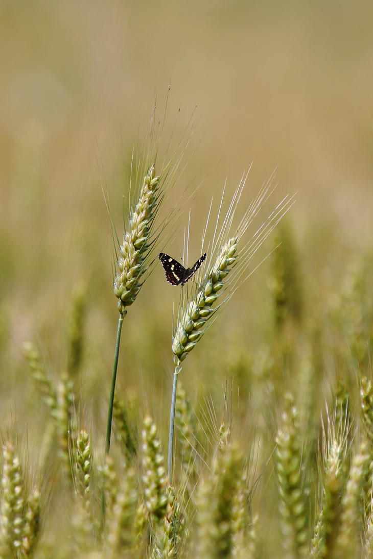Butterfly on a field of wheat by luka567