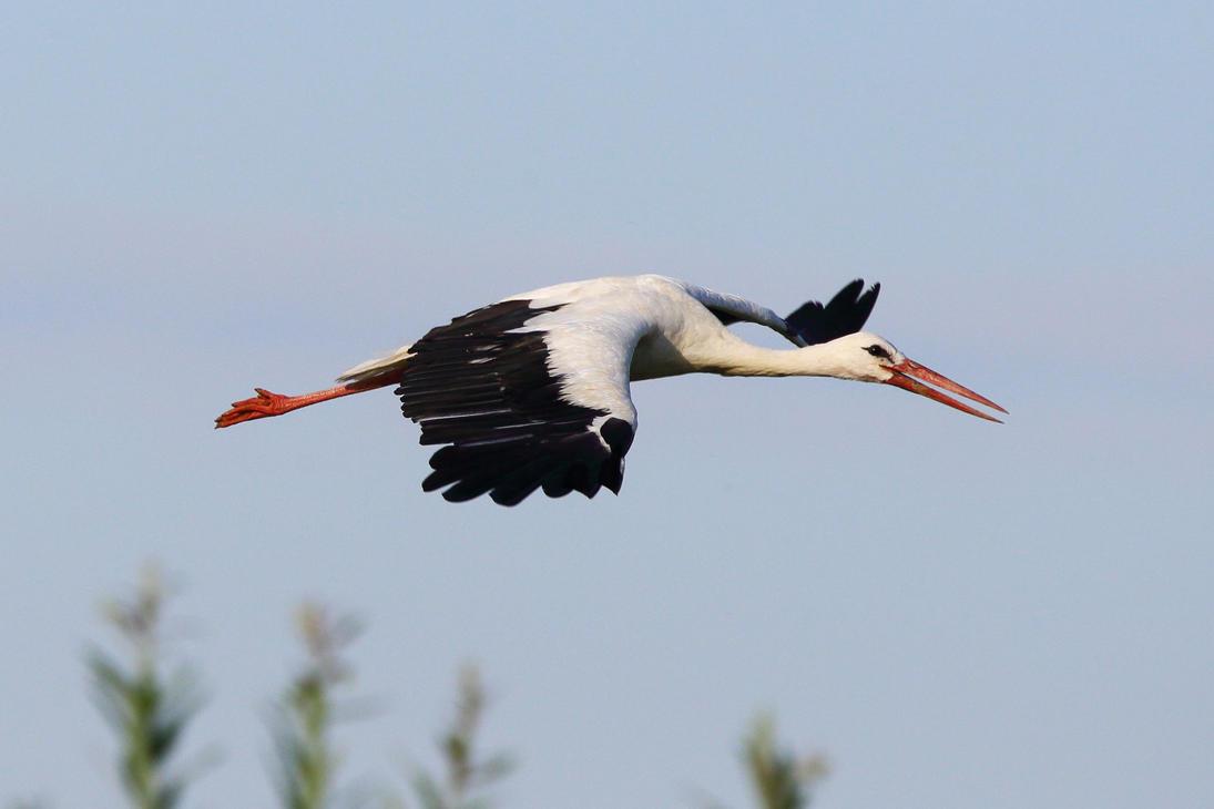 Stork in flight by luka567