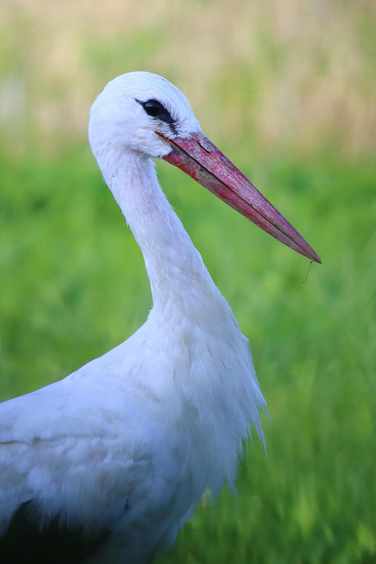 Portrait of a stork by luka567