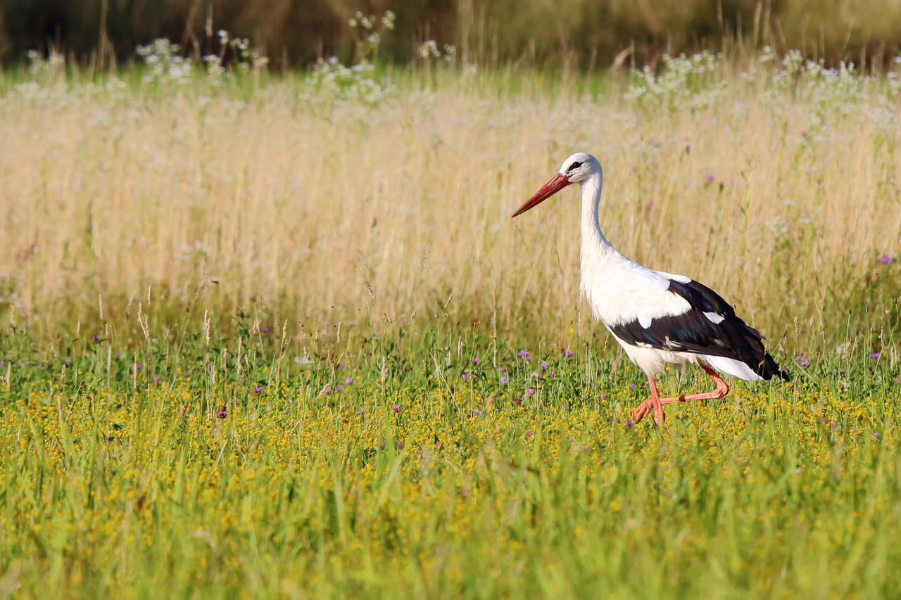 Stork on the meadow by luka567