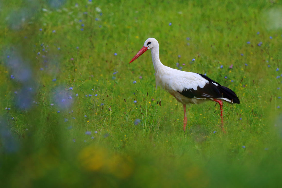 Stork searching for food by luka567