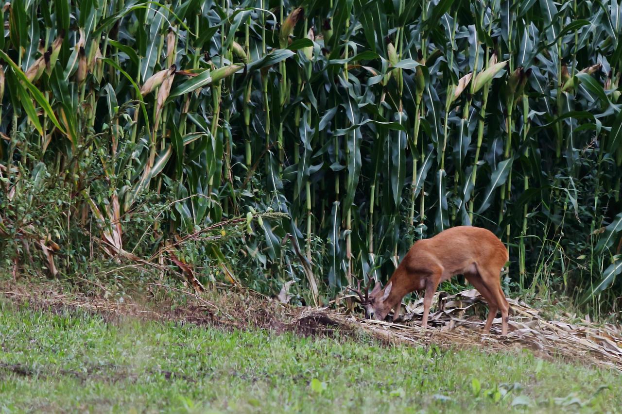 Deer feeding by luka567