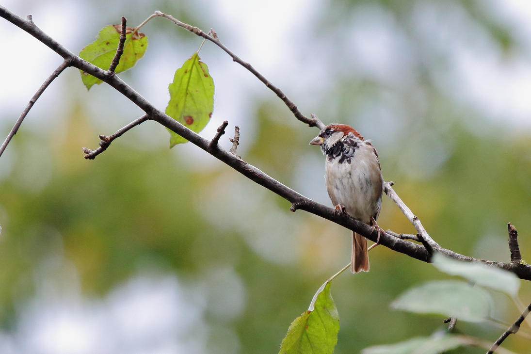 Passer domesticus by luka567