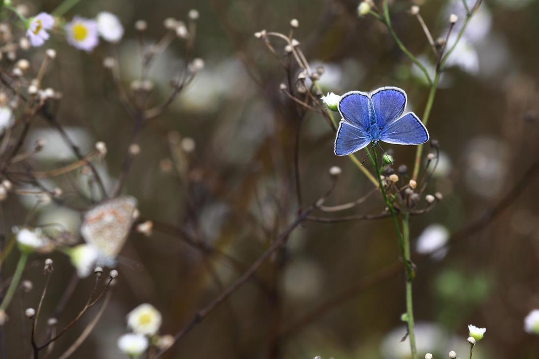 Blue butterfly by luka567