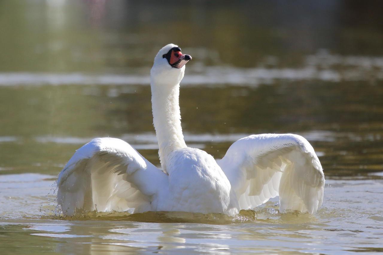 Defiant swan by luka567