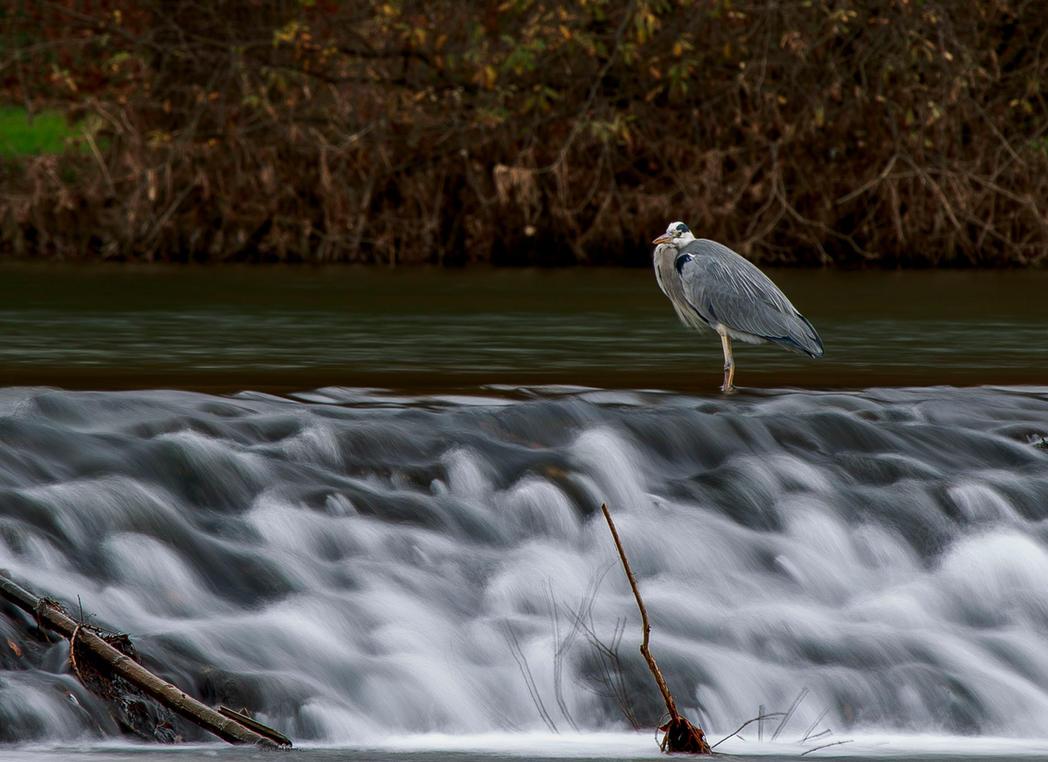 Grey heron by luka567