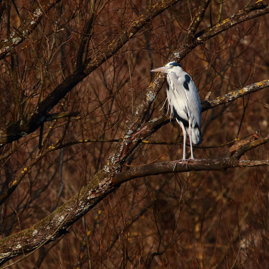 Grey heron on the tree by luka567