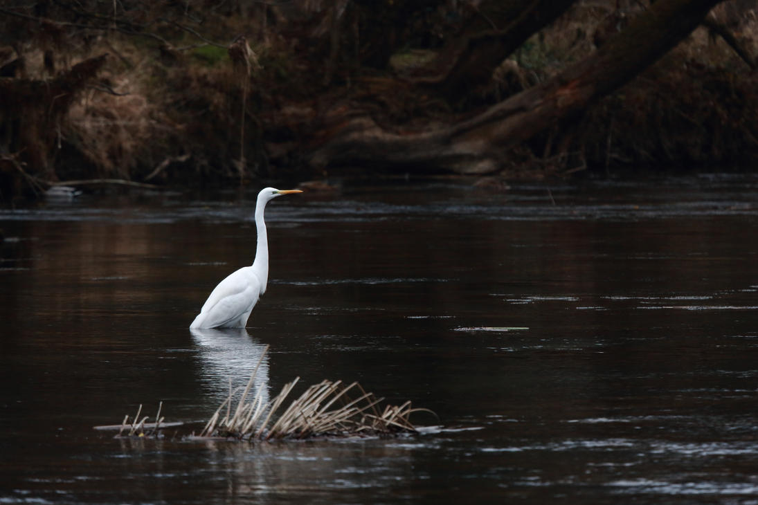 Great white heron by luka567
