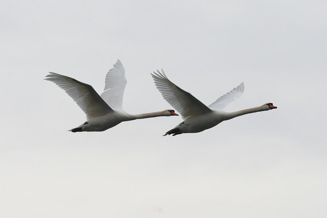 Swans in flight by luka567