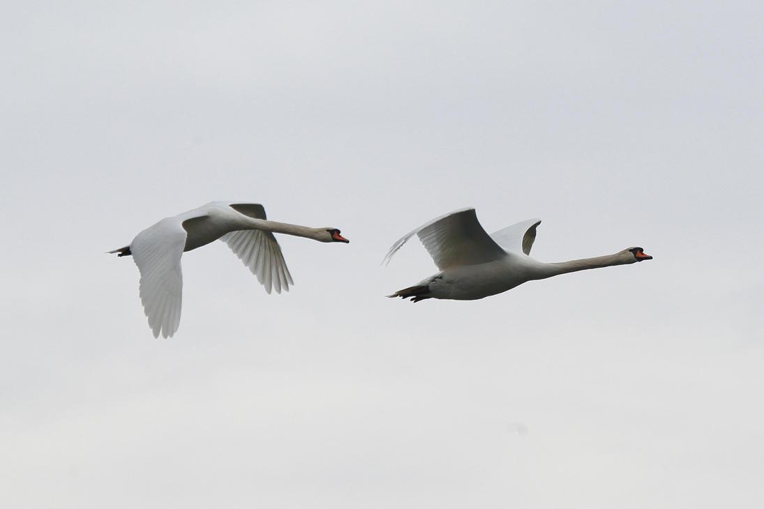 Swans in flight II by luka567