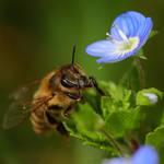 Honeybee by luka567