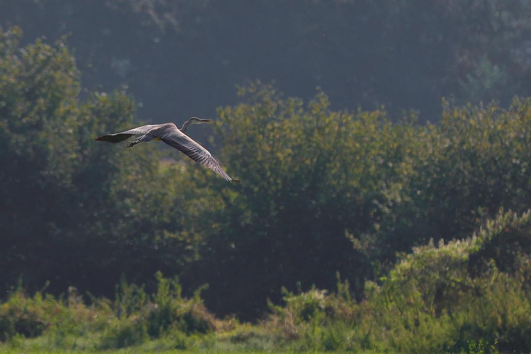 Grey heron in flight by luka567