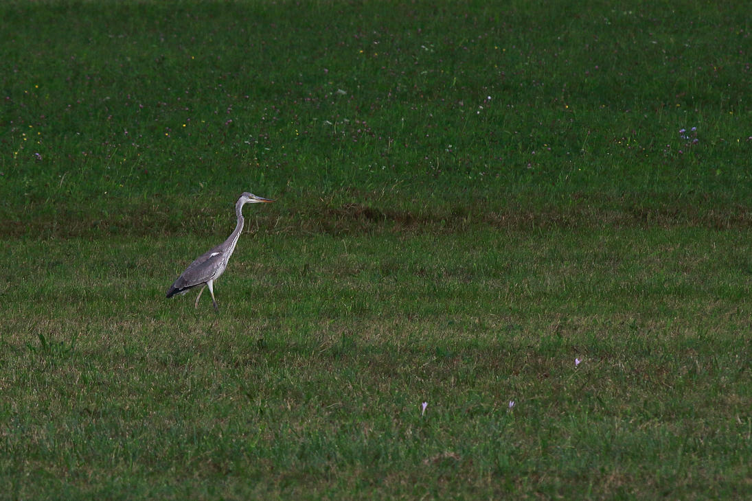 Grey heron on a meadow by luka567