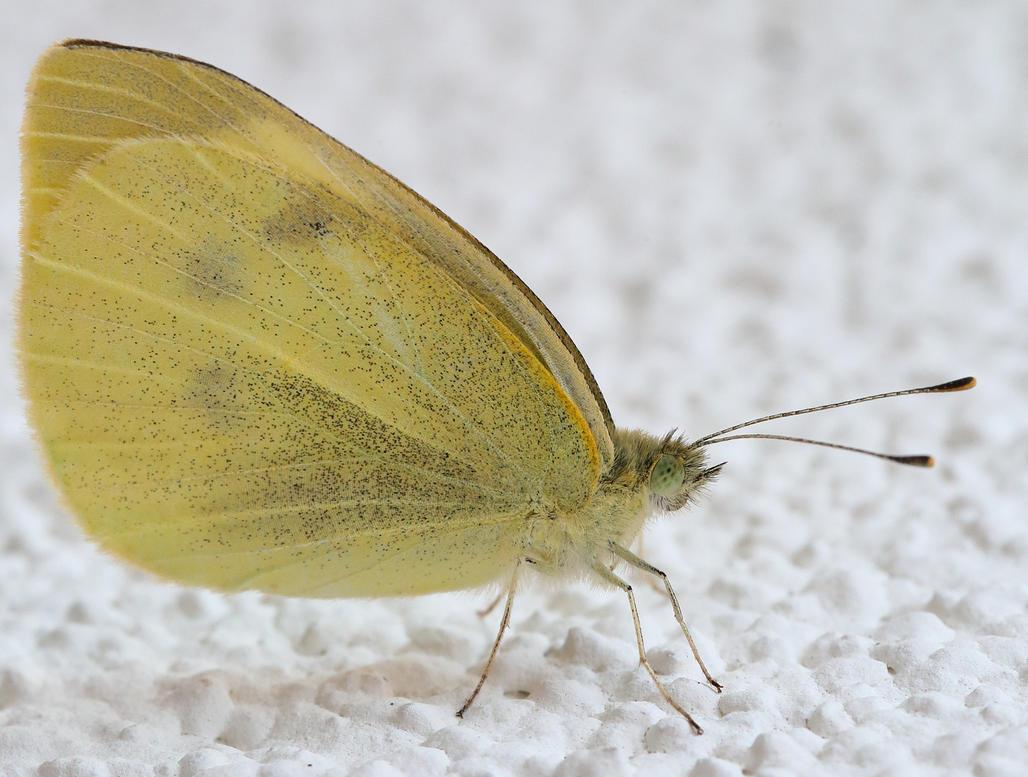 Butterfly - Pieris rapae by luka567