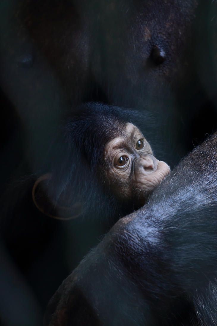 Precious little one - a youngster chimp by luka567