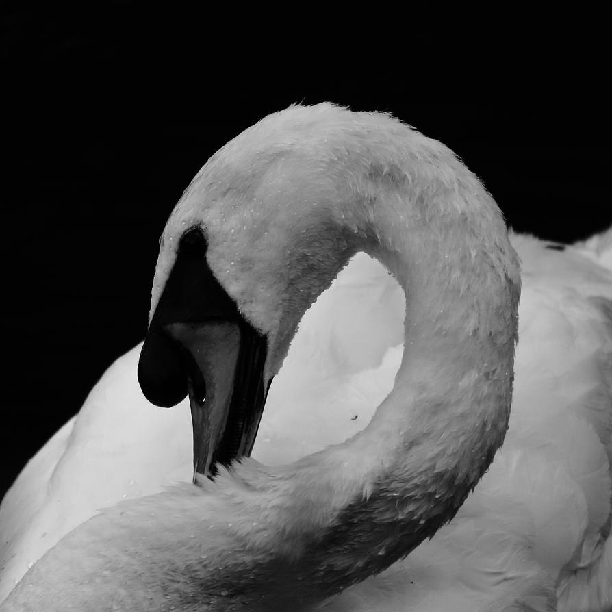 Monochrome swan portrat by luka567