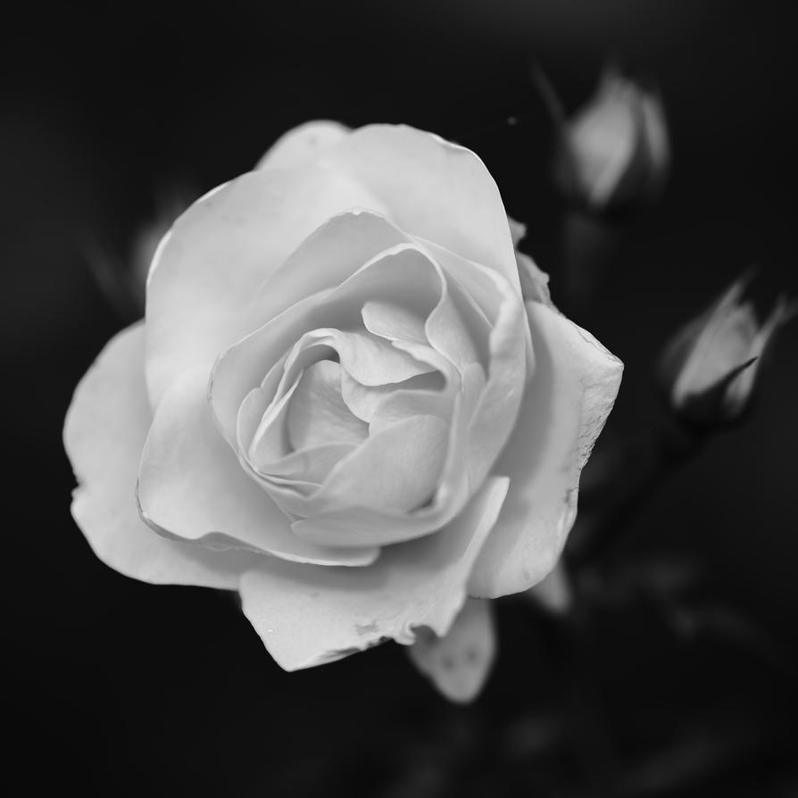 Rose by luka567