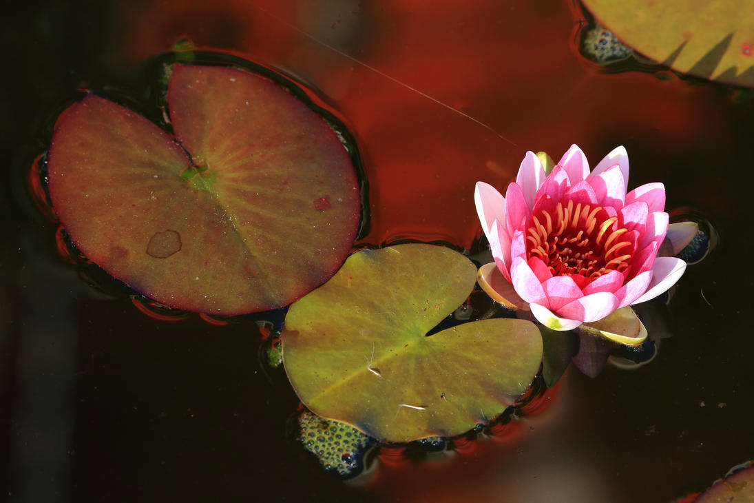 Water lily by luka567